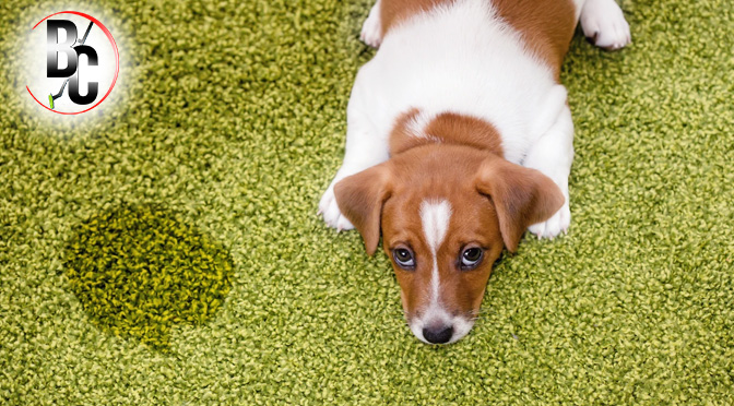 How the Professional Carpet Cleaners Deal with Pet Urine & Stains?